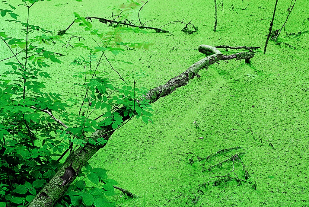 Forrest_Green_Duckweed
