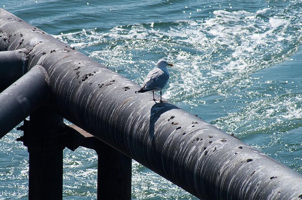 seagull @ oosterschelde