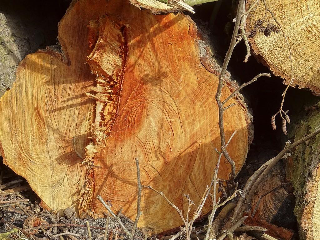 sawn_trees